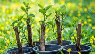 Pozdní léto je příležitostí pro různé druhy rozmnožování okrasných dřevin. Kvalitní zásah ovšem vyžaduje jisté vědomosti aurčitou zručnost.