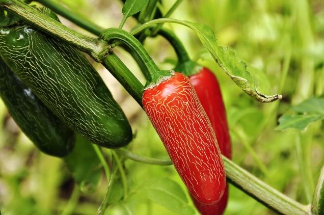 Papričky typu jalapeno. Tyto chutnají při rozkousání chvíli sladce ateprve potom se objeví pálivost. Popraskaná slupka je vpořádku, je znakem konkrétní odrůdy.