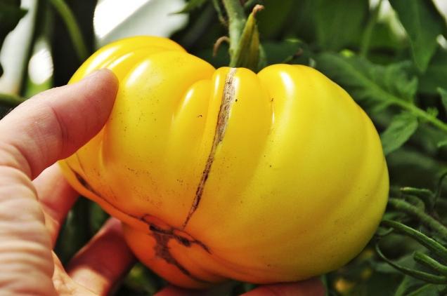 """Odrůda Yellow Gazzi Ribbed je typické masité achuťově vynikající rajče. Rajčatům této velikosti akonzistence se říká """"beefsteakové"""" amůžete je sehnat mezi sběrateli starších odrůd vnejrůznějších barvách, tvarech achutích."""