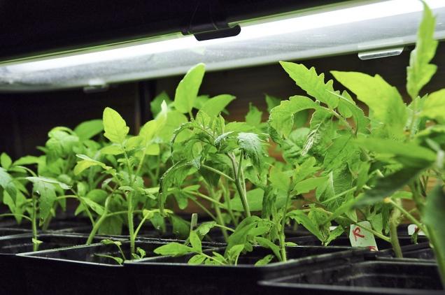 Rajčátka dorůstají najaře pod umělým osvětlením (klidně už mimo výsevní aparát, tam by se nevešla), protože zaoknem zatím svítí slunce málo adny jsou krátké. Čekají vpokojové teplotě nakvěten, kdy poputují doskleníku.