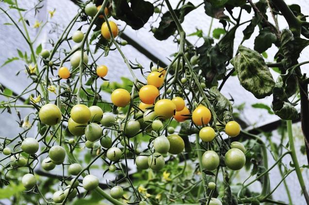 Záplava extrémně sladkých rajčátek starší odrůdy s názvem Sladké zlato. Chcete-li si schovat vlastní semínka nehybridních odrůd rajčat na další rok, je třeba nechat pár plodů v kelímku vykvasit (až do stavu plísně na povrchu) a pak z nich za pomoci cedníku semínka vymýt.