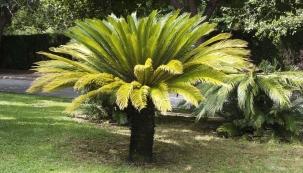 Vzrostlý starý cykas má neobyčejný půvab, vtropech patří kvelmi oblíbeným rostlinám dozahrad aparků.