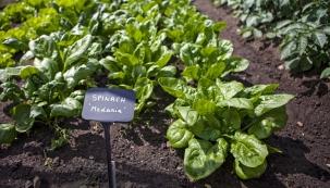 S klasickými, méně tradičními iplanými odrůdami takzvané špenátové zeleniny nás seznámí naše průvodkyně zahradami. Přesvědčí nás, že iplevely mají vzahradních kulturách své místo.