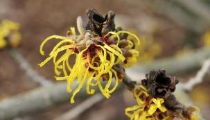 Ani v zimním období nemusí být zahrada úplně pustá. Z dřevin kvete velmi zajímavý, poléhavě až převisle rostoucí chabý keř jasmín nahokvětý (Jasminum nudiflorum). Jeho prutovité větve dorůstají délky do dvou metrů. Kvete od prosince přibližně do konce března, snáší i nejnižší teploty, ale v době silných mrazů kvetení na čas ustává. V únoru rozkvétají i další keře, například kalina Farrerova (Viburnum farreri) ze severu Číny potěší příjemně vonnými květy, vilíny (Hamamelis) zase červenými a žlutými chomáčky květů. Bohužel pro alergiky začíná kvést i líska.
