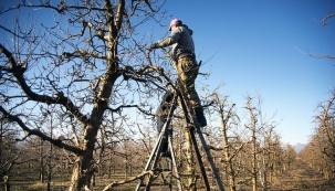 Starší stromy potřebují dříve či později zmladit. Je třeba takovou dobu správně odhadnout a řez provést v lednu či počátkem února podle správných zásad. Ideální je nechat si poradit od odborníka, čerpat z literatury nebo se inspirovat naším stručným návodem. Nabídl nám jej zkušený zahrádkář Jerome.