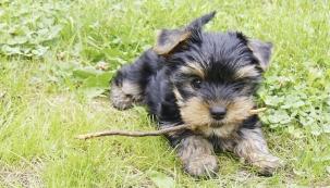 Máme psa! Doma, hodnou jorkšírku, nepouští chlupy, má vlasy, tedy absolutně nealergenní zvíře.
