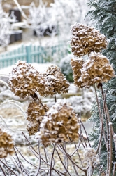 Kmým nejoblíbenějším odrůdám hortenzie latnaté patří Limelight. Při kvetení mění barvu ze zelenkavé nabělostnou, pak zrůžoví avzimě ji zdobí hřejivý odstín karamelek.