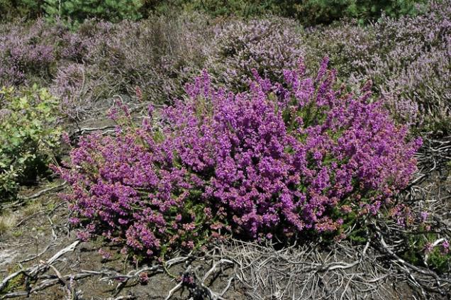 Vřesovec pleťový (Erica carnea) je evropský druh, roste od Alp až po jižní Čechy. Mnoho jeho vyšlechtěných barevných kultivarů a kříženců se pěstuje proto, že rozkvétají už na podzim a při teplé zimě potěší až do jara. V přírodě rozkvétá v březnu, často ještě pod sněhem.