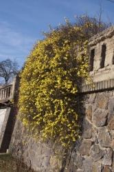 Chabý převislý keř Jasminum nudiflorum vypadá úchvatně na kamenné zdi. Když se povede mírná teplejší zima, je pastvou pro oči, za silných mrazů nekvete.