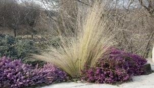 Jednoduchý půvab elegantních trsů suchých trav a drobných barevných květů vřesovců může potěšit nejen v zahradě, ale i v nádobě na balkoně.