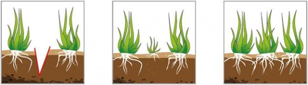 Jak funguje vertikutace: Obr. 1: Nože vertikutátoru naříznou travní plochu Obr. 2: Travní drn snadno odnožuje, trávník houstne Obr. 3: Za několik týdnů se trávník zacelí novou trávou (Foto: Mountfield)