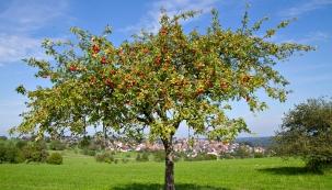 Sázím ovocné stromky mnoho let, experimentuji srůznými přístupy kjejich pěstování. Poučil jsem se úspěchy ineúspěchy, ohodně dřevin jsem přišel, ze spousty jiných ale sklízíme báječné ovoce. Stále je co objevovat. Rád se svámi podělím ozajímavé, praxí již bohatě ověřené zkušenosti, které vám pomohou při zakládání vlastního jedlého lesa.