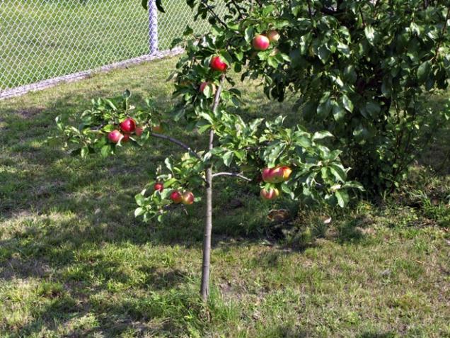 Stromek na extrémně zakrsající podnoži je hračkou tak na pět let. Své dobré uplatnění by našel spíše na balkoně v květináči. Více již vyrůst nemůže. Kdyby měl možnost růst ve velký strom, ještě by neplodil a síly by vložil do budování dřeva.