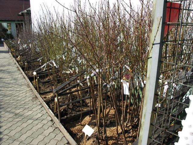 V prodejnách vypadají všechny stromky podobně, i když mají různé podnože. Typ podnože musí být uveden na jmenovce.
