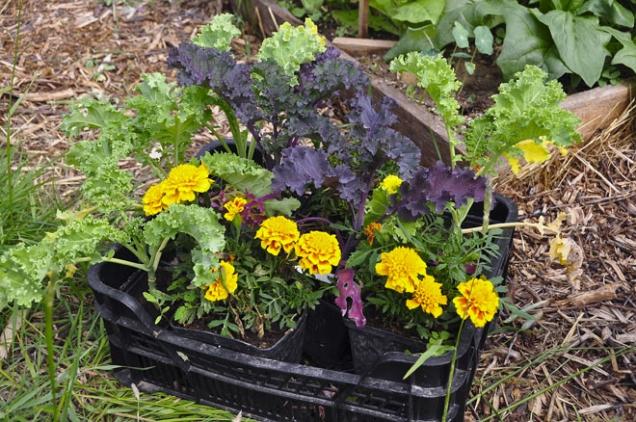 Kadeřávky aaksamitníky, připravené kvýsadbě nazáhony. Některé květiny zlepšují zdraví zeleniny, ale nelze je efektivně vysévat přímo.