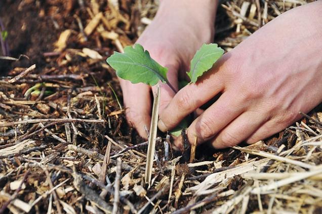 Výsadba sazeničky dohnízda vmulči, vyplněného kompostem