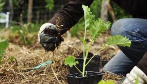 Postupné předpěstovávání zeleniny umožňuje nazáhony vysadit pár kousků, kdykoliv je čas, azajistit si tak ipostupnou sklizeň.