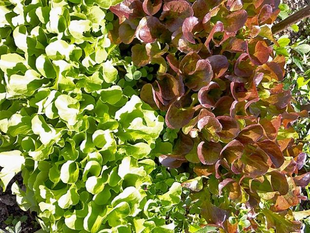 Sklizeň zrychlých výsevů listových zelenin, např. salátu, listové vodnice, řeřichy nebo rukoly, vnižších polohách dokončete vdubnu, ve vyšších polohách do poloviny května, jinak listy hořknou arostliny vybíhají do květu. Záhon vyčistěte, přehoďte kompostem avysejte fazole, hrách, cibuli sazečku či česnek.