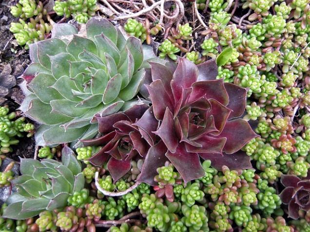 Podle polohy zahrady do konce dubna vyčistěte skalku, odstraňte chvojí arašící plevel. Je čas rozmnožování dělením, např. rozchodníků (Sedum), chrustavečky neboli stříbřenky (Paronychia), hlaváčky (Adonis) se množí výsevem.