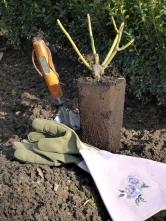 Takto vypadá sazenice růže pro jarní výsadbu po vyklepnutí zplastového kontejneru. Větvičky jsou zelené apokožka napnutá – máte jistotu bezproblémového růstu.