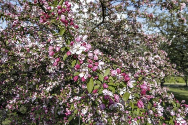 Strom poodkvětu shazuje část plodů. Někteří pěstitelé to napodobují, výsledkem může být menší úroda, avšak prvotřídní ovoce vhodné ipro výstavní účely.
