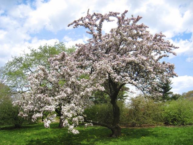 Existuje mnoho druhů rodu jabloní (Malus) ijako okrasné stromy.