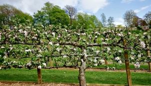 Pečlivě ošetřované kordony dokážou plodům připravit kromě jiného idobré světelné podmínky. Jsou ozdobou zahrady apřinášejí krásně vybarvené azdravé ovoce.