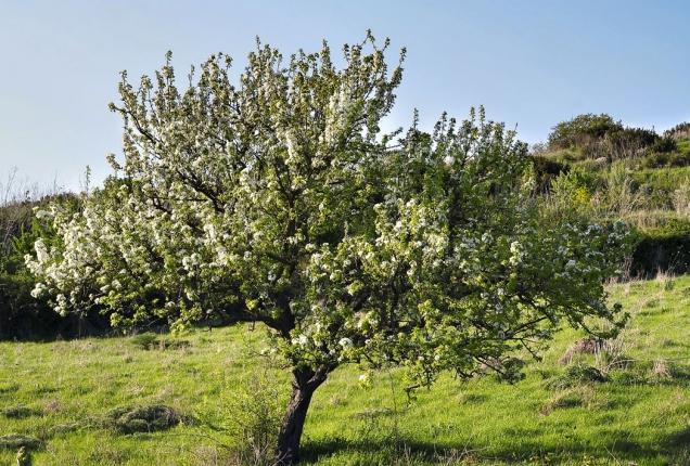 České středohoří si bez výsadeb ovocných stromů nelze představit.