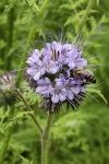 Pojedete-li vkvětnu kolem zářivě modrofialového pole, pravděpodobně zahlédnete i svazenku vratičolistou (Phacelia tanacetifolia).