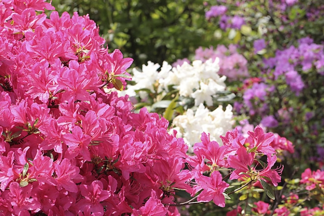 Rhododendron cf. 'Girard's Rose