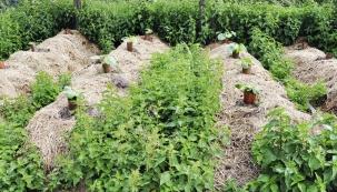 Vprvní polovině června jsou mladé rostlinky tykvovitých bojovnic vplném růstu, stejně jako kopřivy apýr. Vmístech snedostatečným mulčem plevel prorůstá, většinou velmi rychle. Tato místa isplevelem opět hojně zamulčujte. Vtuto dobu je to velmi efektní, kořeny plevele vydaly, co mohly, dotvorby nadzemní části ata se ocitne vetmě. Zároveň je čas sundat dýním plechové límce, každým dnem už odrůstají slimáčímu nebezpečí.