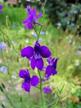 Barevné květy jsou důležité nejenom pro krásu zahrady, ale také pro vnímání opylovačů: Ostrožka východní (Consolida orientalis)