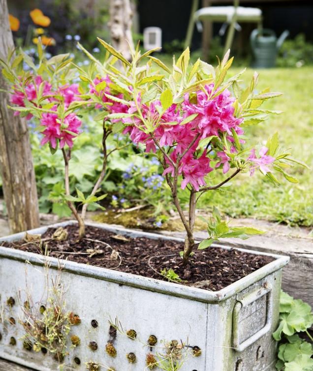 Rododendrony aazalky jsou jedna rodina. Jsou si vmnohém natolik podobné, že je botanici již neuvádějí jako dva rozdílné druhy, ale naazalky se pohlíží jako napoddruh.