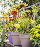 Rostliny vyžadují kyselou půdu, vlhké apřed větrem chráněné stanoviště