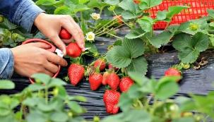 Jahody patří klétu ajejich pěstování je opravdu snadné. Pokud najdete vhodnou odrůdu, nepotřebují ani moc místa, lze je pěstovat na zeleninové zahrádce, na terase ina balkoně. Překážkou nemusí být ani drsnější klima.