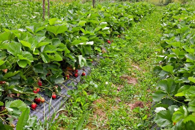 Zárukou sklizně kvalitních jahod je zdravá sadba.