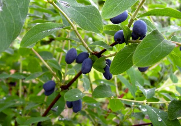Plody nejranějších odrůd zimolezu kamčatského začínají dozrávat při vhodném počasí již vdubnu. Odrůdy se liší nejenom velikostí a tvarem bobulí, ale také jejich chutí.