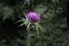 Vprůběhu června ačervence kvete dvouletý ostropestřec mariánský (Silybum marianum)
