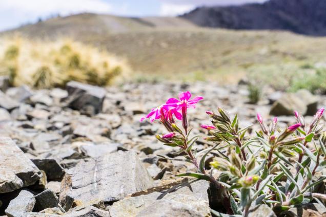 Některé floxy zvládnou i extrémní podmínky - Národní park Death Valley v Kalifornii