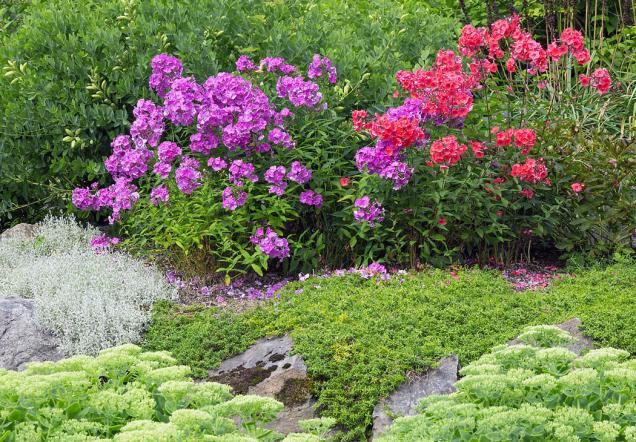 Koberce barevných květů na skalkách působí nádherně. Opojná, přitom nevtíravá vůně plamenek neboli floxů se s přibývajícími slunnými dny line z mnoha zahrad a podává jasný důkaz o tom, že tato nepostradatelná květina našich babiček se těší stále větší oblibě.
