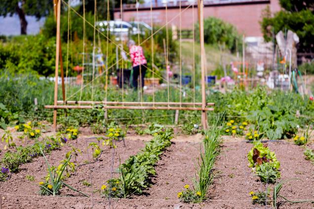 Zeleninová sekce může být také zajímavou částí zahrady. Vertikální rozměr jí dodává konstrukce pro různé popínavé druhy, například fazole, hrášek, okurky nebo ačokču.