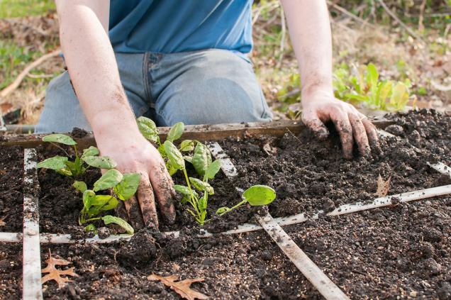 Jednotlivé sekce záhonu si vyznačíte trvale nebo jenom dočasně. Sazenice zeleniny a bylinek vysazujete na vymezená místa, víte tedy přesně, kolik jich pořídit.