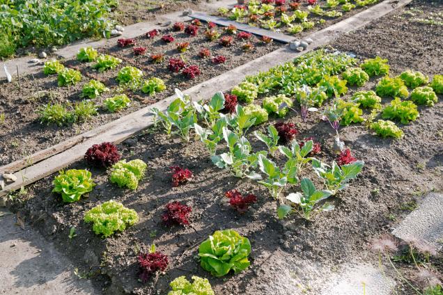 Mezi nejoblíbenější zeleniny, které se výborně hodí také pro čtvercovou zahrádku, patří různé typy a odrůdy salátu a kedlubny.