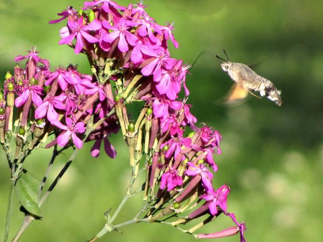 """Motýl """"kolibřík"""" dlouhozobka svízelová ráda navštěvuje některé květiny, zejména floxy a hvozdíky."""