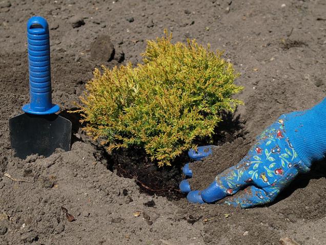 Jehličnany V srpnu můžete sázet mladé jehličnany skořenovým balem, budou mít dost času na obnovu kořenů před zimou. Přesazovanou rostlinu ivybrané místo několik dní předem vydatně zalévejte. Jehličnany můžete i stříhat, ale pro střih zeravu nepoužívejte křovinořez. Ten větvičky na koncích roztřepí. Lepší je použít ostré zahradnické nůžky.