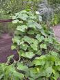 Při pěstování okurek můžete využít různé rošty, mřížky nebo žebříky. Rostliny tak neleží na povrchu půdy a jsou méně náchylné k houbovým chorobám.
