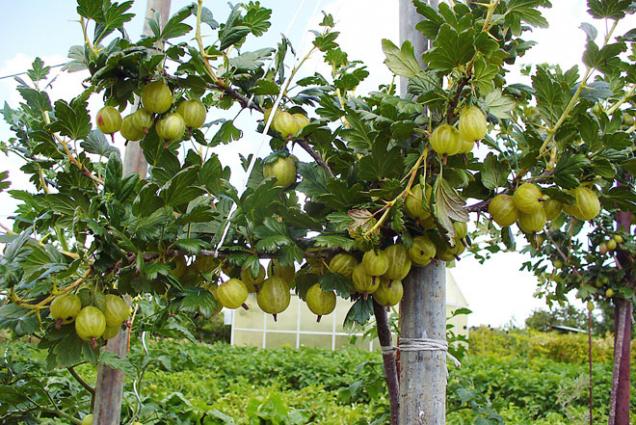 Bohatě plodící angreštové větve dobře uvažte.