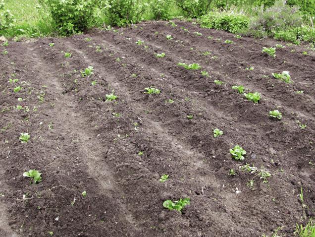 Na vlastní zahradě vypěstované brambory jsou chuťově nedostižné. Přitom jejich pěstování vyžaduje méně práce než ostatní  běžné plodiny.