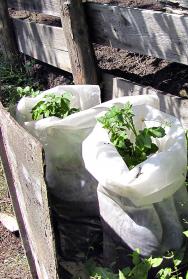 Pěstování brambor v igelitových pytlích je spíše zpestření, pokud nemáte dostatek prostoru. Pozor na přehřátí kořenů za horkých dní!