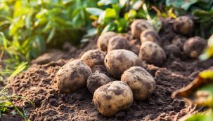 Všeobecně se ví, že brambory pocházejí zJižní Ameriky. Méně známé je ale to, že zde mají dvě centra původu – andské achilské. Ztoho druhého pravděpodobně pocházejí evropské odrůdy. Jejich využití vpůvodní domovině bylo velice pestré: kromě přímého konzumu se znich sušil prášek, vyráběl alkoholický nápoj apoužívaly se jako léčivka.